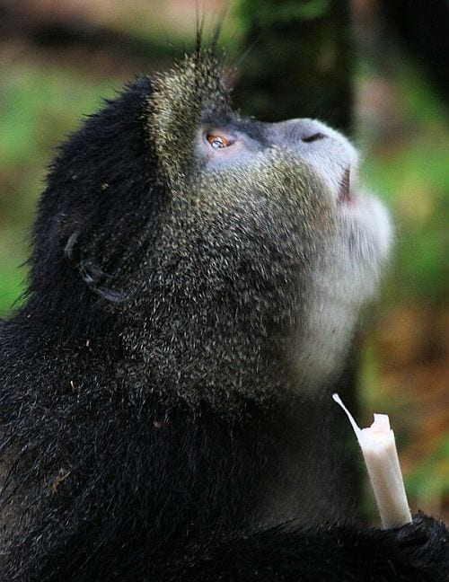 gorilla-tracking in Rwanda - golden monkeys
