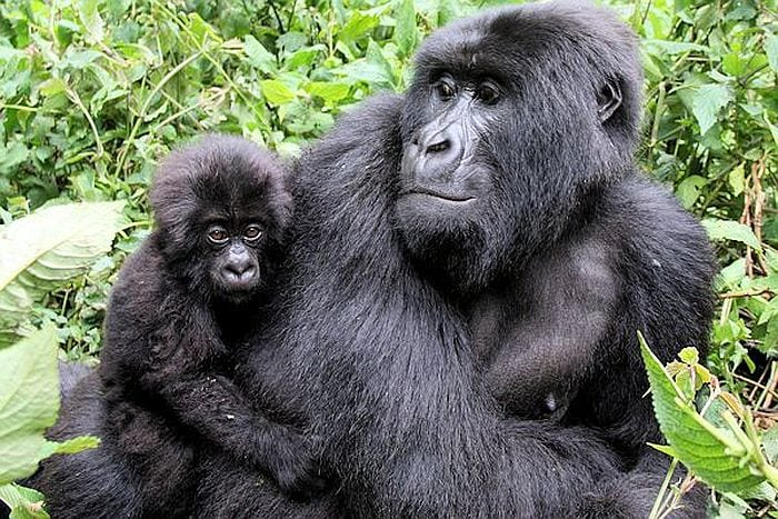 gorilla-tracking in Rwanda - Virungas National Park