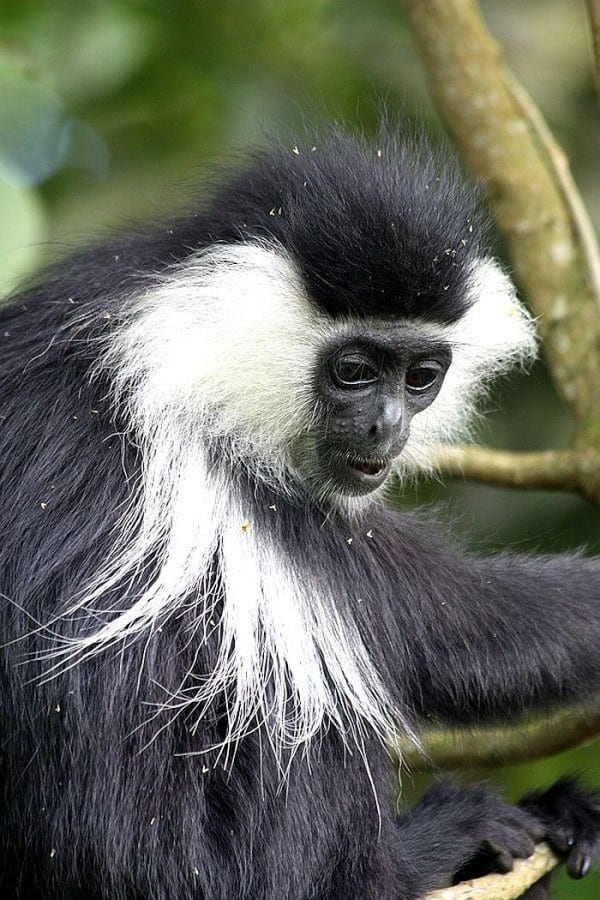gorilla-tracking in Rwanda - nyungwe colobus monkeys