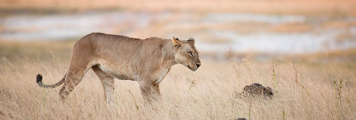what does a Botswana safari cost, lion on hunt