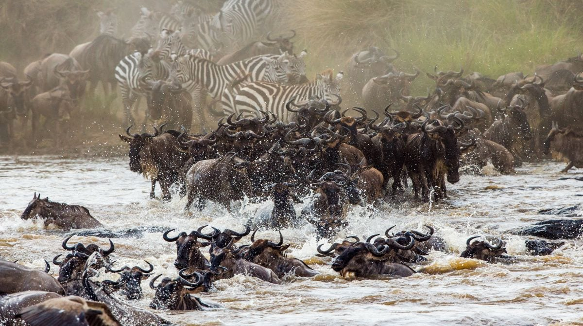 Great wildebeest migration from Serengeti into the Masai Mara