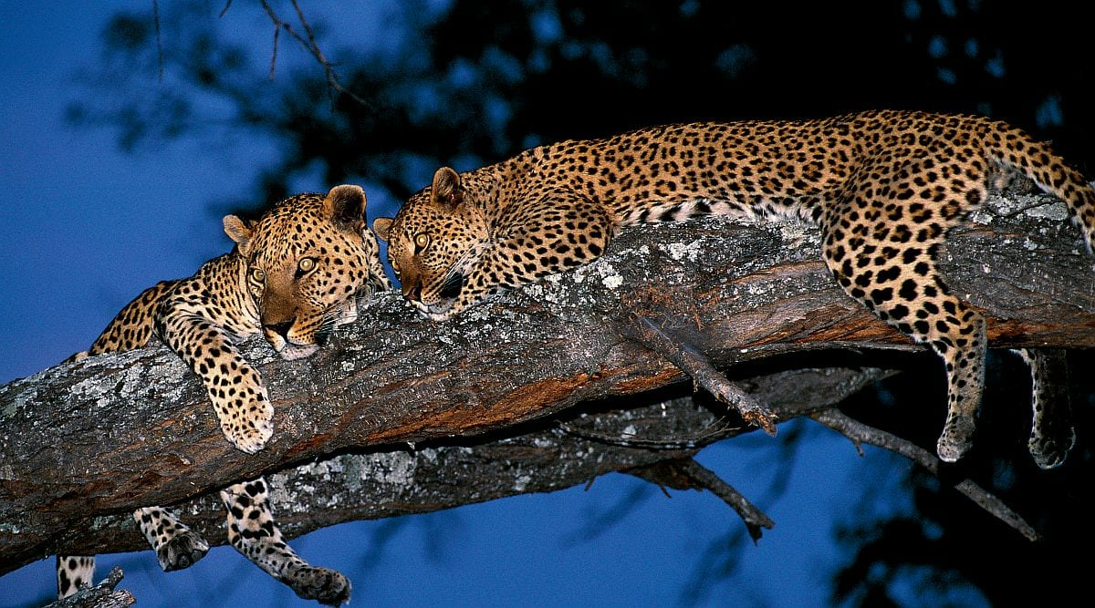 Mana Pools National Park - leopards in tree, Mana Pools safari