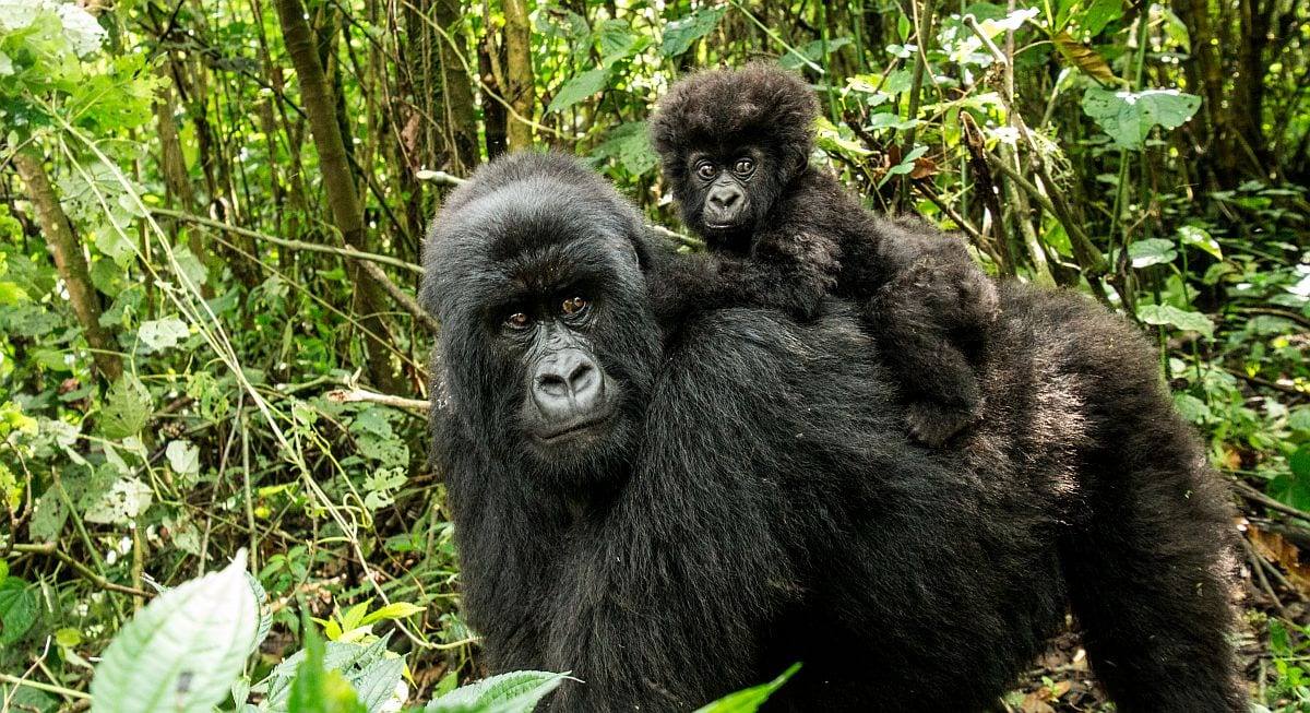 Mountain gorilla & baby in Volcanoes National Park