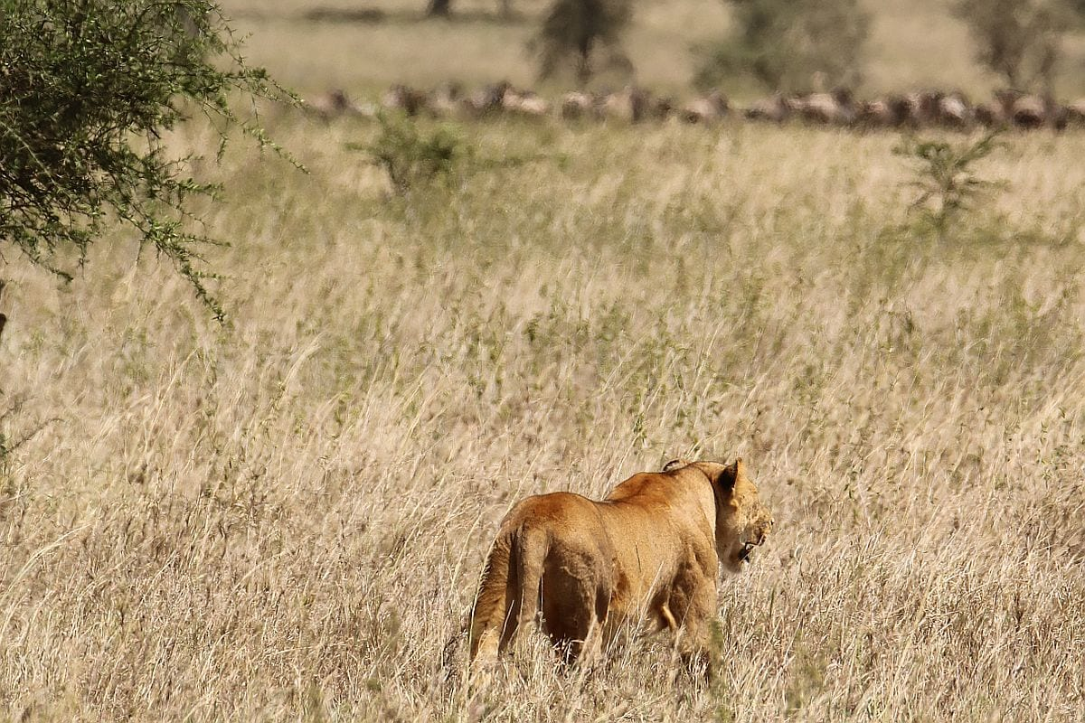 Serengeti llion on hunt