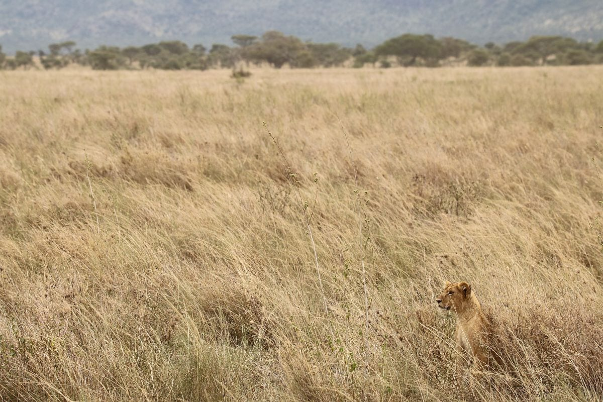 Serengeti - lioness in long grass