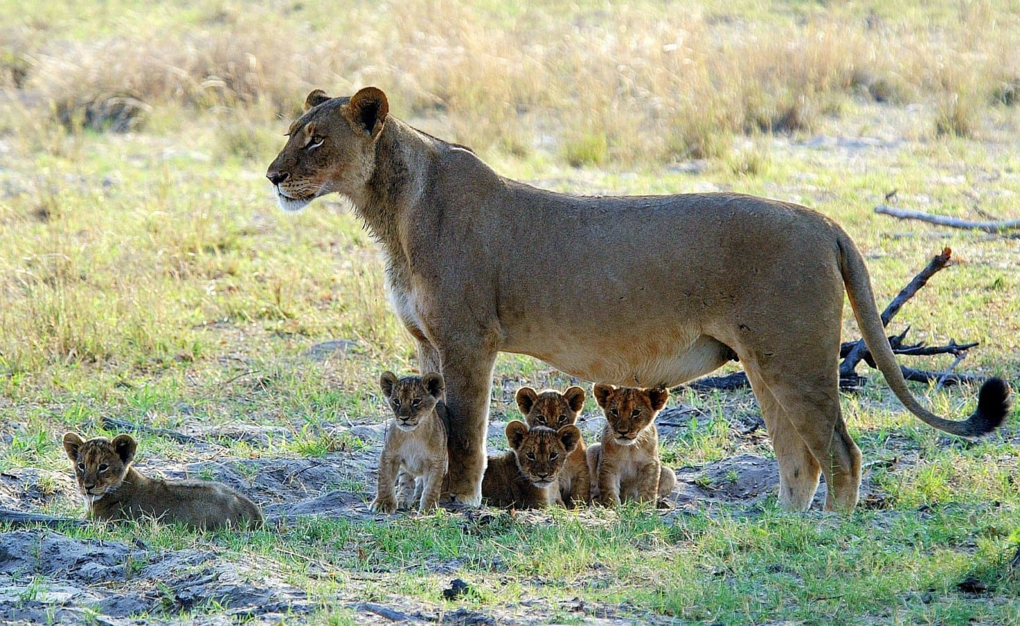 Lioness and her cubs in Hwange, Zimbabwe, southern african safaris